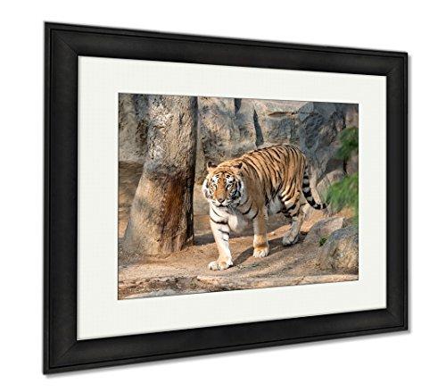 Ashley Framed Prints Siberian Tiger Panthera Tigris Altaica, Wall Art Home Decoration, Color, 26x30 (frame size), Black Frame, - Panthera Ebony