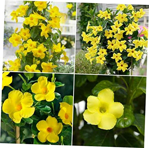 LOJI Dipladenia Yellow Mandevilla ~ Vine Live Plant 12 inches Tall or More - RK135