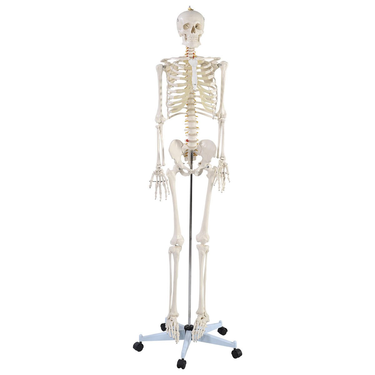 Giantex Life Size Human Anatomical Anatomy Skeleton Medical Model + ...