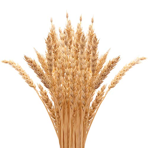 (Golden Dried Wheat Sheaves 100 Stems Bundle Premium Autumn Arrangements Full Wholesale DIY Home Table Wedding Xmas Halloween)