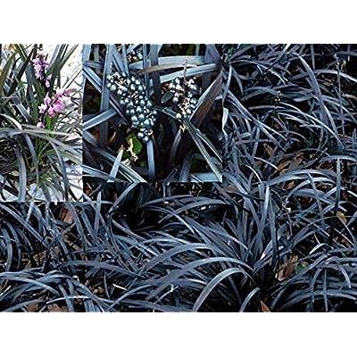 Jet Black Mondo Grass (Ophiopogon Planiscapus Nigrescens): 10 Live Starter Plants : Garden & Outdoor