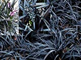 Jet Black Mondo Grass (Ophiopogon Planiscapus Nigrescens): 10 Live Plants