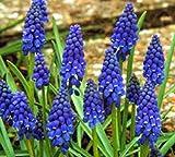 (10) Muscari Armeniacum, Beautiful Flowers, Blooming Sized Bulbs, Easy to grow