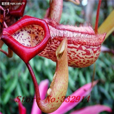Pitcher Plant Seeds - Promotion!!! 100pcs Nepenthes seeds Flower and herbs Carnivorous plants, purify the air, catch insect,