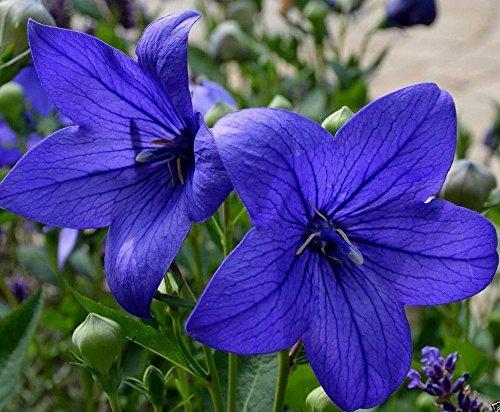 deep-Blue Balloon Flower 18