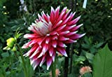 Dark Horse Dinnerplate Semi-Cactus Dahlia - 2 Root Clumps