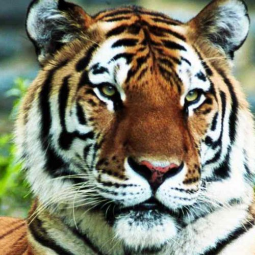 Eat Those Tiger Grits - Single