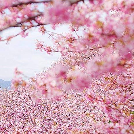 Japanese Flowering Cherry Blossom Sakura Seeds 5 Prunus Serrulata Tree Seeds For Home Garden Planting Amazon Ca Patio Lawn Garden