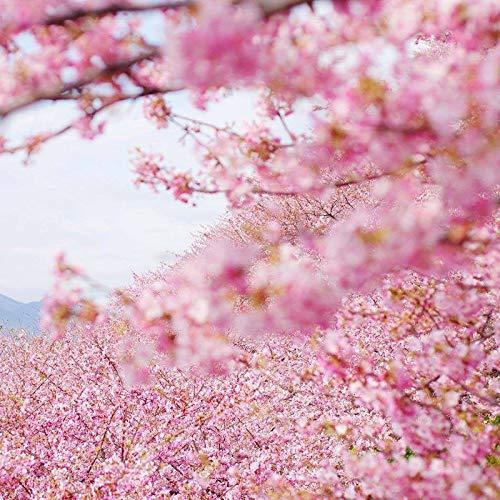 Japanese Flowering Cherry Blossom Sakura Seeds 5+ Prunus serrulata Tree Seeds for Home Garden Planting