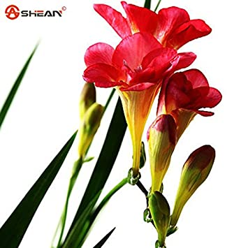 Amazon.com: Red Freesia Bulbs Indoor Potted Flowers Orchids,Freesia ...