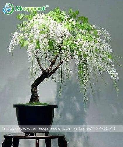 Amazon Com 5 Pcs White Wisteria Flower Seeds Diy Home Garden