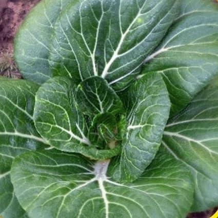 Amazon Com 1 Oz Canton Pak Choi Chinese Cabbage Seeds Garden