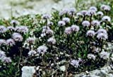 Globularia cordifolia 100 seeds