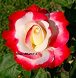 Double Delight Rose ~ 20 Seeds ~ Rare