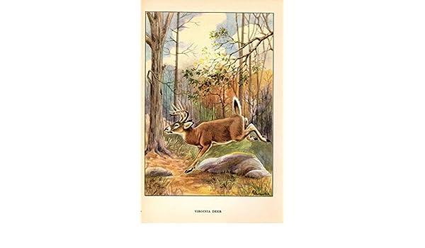 "1926 Vintage ANIMALS /""VIRGINIA DEER/"" GORGEOUS COLOR Art Print Plate Lithograph"