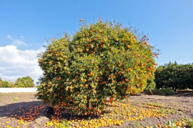 Brighter Blooms Nules Clementine Dwarf Fruit Tree - up to 2 ft. tall trees - pick clementines the first year!- Grow Delicious Clementine Oranges Anywhere in the USA (Live Potted Plant) by Brighter Blooms