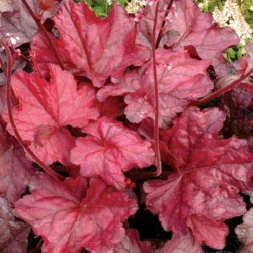 (Heuchera Fire Chief Red Coral Bells Disease 2.5 Inch Pot 1 Live Potted Plant Og003)