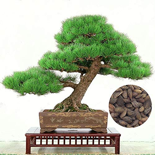Konato - 50 Piece Five-Leaved Pine Tree Potted Landscape Japanese Five Needle Pine Bonsai Miniascape Bonsai Pinus ()