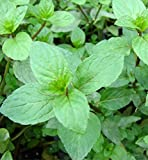 Peppermint Seeds (Mentha x piperita)