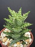 ALOE JUVENNA exotic rare succulent cacti indoor outdoor plant agave cactus 4 pot