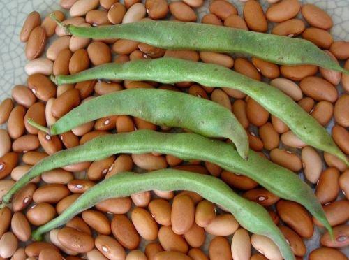Romano Bean Seeds - David's Garden Seeds Bean Bush Romano #14 RSL9876 (Green) 100 Open Pollinated Seeds