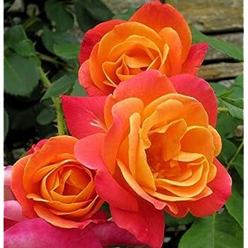 Amazon.com : Joseph's Coat Rose Bush Apricot Climbing Rose ...