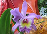 Brassolaeliocattleya from the Orchid family .: Blc.