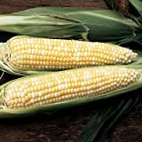Sweet Corn Precious Gem F1 - Insect Guard Treated Vegetable Seeds - 50,000 Seeds
