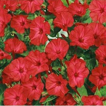 4 Oclock Flowers - Outsidepride Mirabilis Four O'Clock Vine Red Flower Seed - 1/4 LB