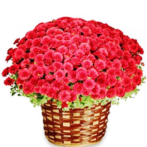 100pcs/bag Ground-cover chrysanthemum seeds, chrysanthemum perennial bonsai flower seeds daisy potted plant for home garden 5