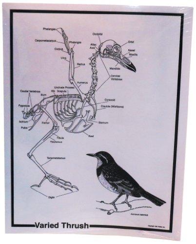 Pellets Inc. Skeleton and Food Web Diagrams (Mole Skeleton)