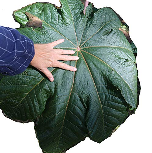 Castor Bean, Mole Bean, Giant Green Leaves, Huge Seeds, Tropical Look, Fast Growing - Ricinus Communis, (8+ Seeds) from USA.
