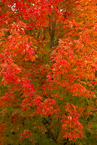 October Glory Red Maple Tree - Shade Healthy Rooted - 1 Plant in 1 Trade Gallon Pot