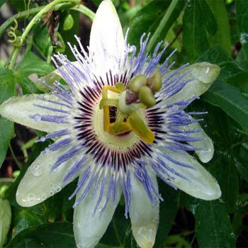 Outsidepride Passion Flower - 500 Seeds