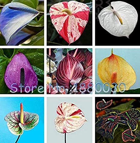 100 Japanese garden seeds of new varieties of Anthurium seed RED ANTHURIUM A