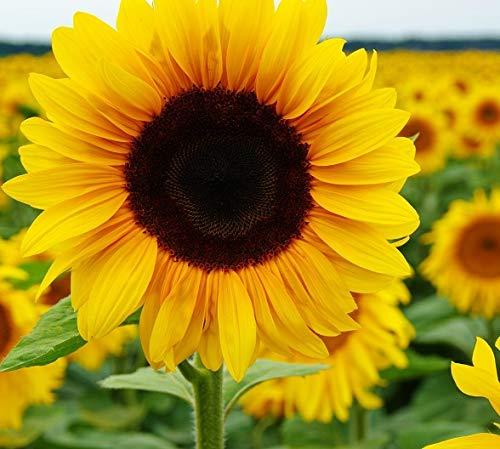 Amazon.com: Sunflower