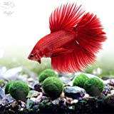 #4: LUFFY Betta Balls : Live Round-Shaped Marimo Plant : Natural Toys for Betta Fish : Aquarium Safe