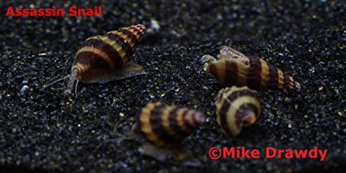 Imperial Tropicals 3 Live Assassin Snails (Clea Helena 1/2'-1') Great for...
