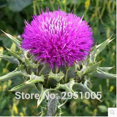 AGROBITS 50 piezas/lote de cardo mariano, cocina de vainilla, flor, patio balcón, maceta, jardín en casa