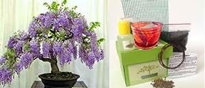 Premium Wisteria Bonsai Kit - CERAMIC Pot/Seeds/Soil/Liquid Fertilizer/Training Wire/Drainage whole cover/Extra Seeds/Gift Tag
