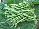 buy 100 Seeds Landreth String-less Bush Bean, Organically Grown Heirloom Bean. Great Flavor ! now, new 2019-2018 bestseller, review and Photo, best price $1.80