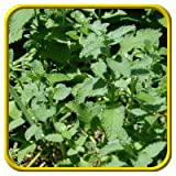 Potomac Banks Catnip Seeds, Non-Organic, 5000 Count (Comes with Free How to Live Stress Free Ebook)