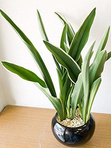 都城 万年青(おもと) 黒色陶器 ウォーターサンド 水耕栽培 観葉植物 B01M1LK110
