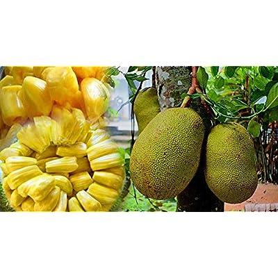 Portal Cool New 10 Seeds Jackfruit Seeds 100% Fresh Organic Tree Germination Fresh Cleand658 : Garden & Outdoor