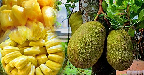 Portal Cool New 10 Seeds Jackfruit Seeds 100% Fresh Organic Tree Germination Fresh Cleand658