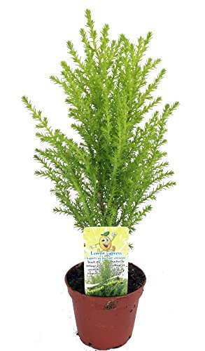 Lemon Scented Goldcrest Cypress Tree - Indoors/Out/FairyGarden - 2.5 Pot by Hirts: Trees & Shrubs Cypress Pot