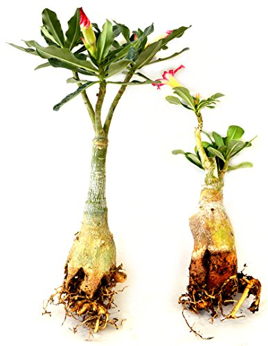 Set of 2 Adenium Desert Pink & Red Color House Plant Bonsai