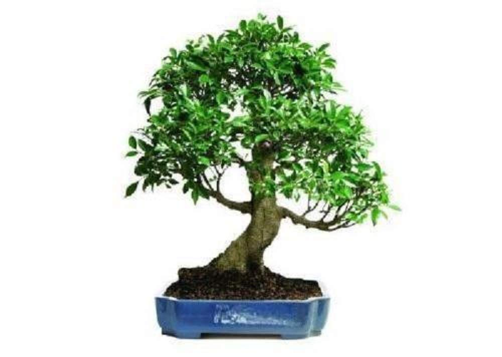Golden Gate Ficus Bonsai Tropical Beauty Indoor Bonsai 20 Years Old Best Plant A6 by owzoneplant (Image #3)