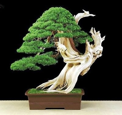 Bristlecone Pine (Pinus Aristata) 10 Seeds