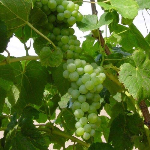 2 Lakemont Grape Plant/Vines - 2 Year Organic Seedless - Combined Shipping